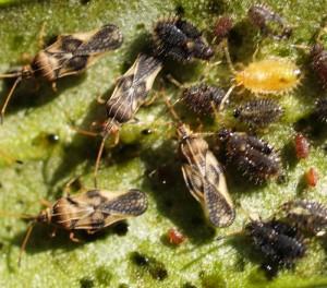 Lacebug infestation