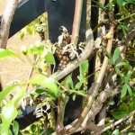 kudzu beetle damage to plants